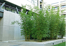 Bamboo Planted in a Commercial Setting